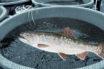 Þúsund tonna aukning hjá Náttúru fiskirækt